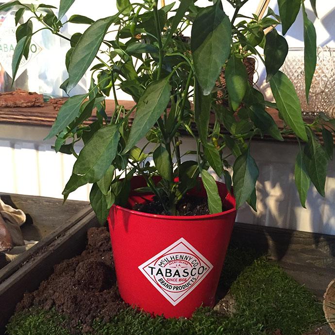 tabasco-plante