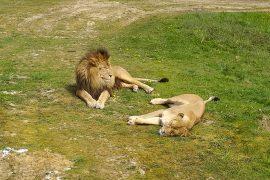 zoo-thoiry-lion