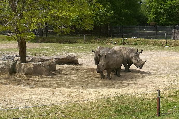 zoo-thoiry-rhinoceros
