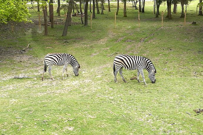 zoo-thoiry-zebre